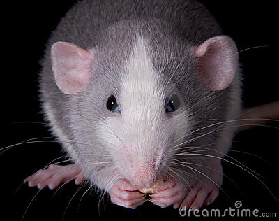 Munching Rat
