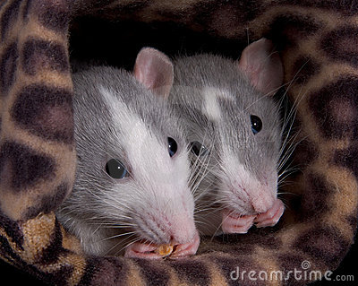 Two rats eating