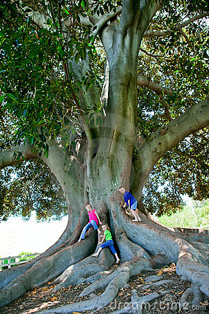 Kids climbing huge tree