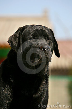 Dog pet Labrador  Retriever