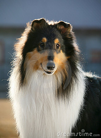 Dog pet Collie