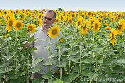 Farmer on a sun flower field