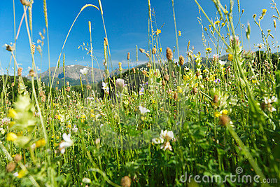 Mountain herbs and flowers