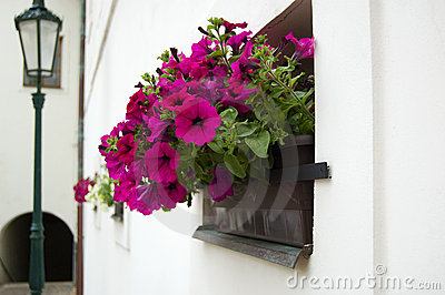 Petunia in a flower pot outdoors and lantern