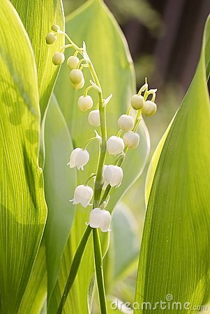 Lilly of the valley in the forest