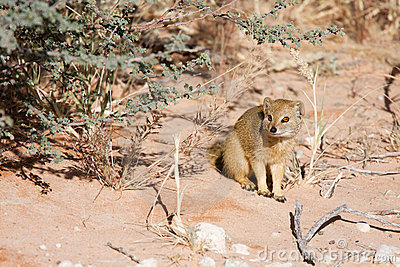 Watchful Southern African weasel