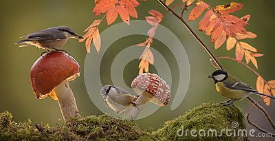 Nuthatch standing with mushroom and a great tit