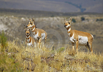 Pronghorn Antelope Doe and Fawns