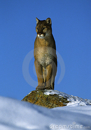 Mountain Lion on Snowy Rock