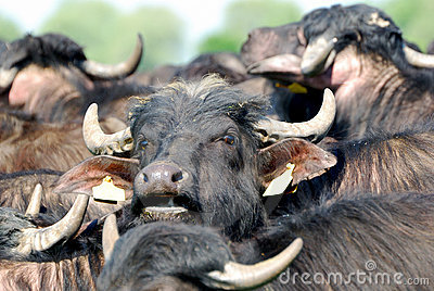Water buffalo, Hortobagy National Park, Hungary