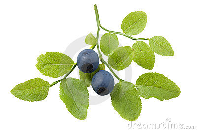 Bilberry branch