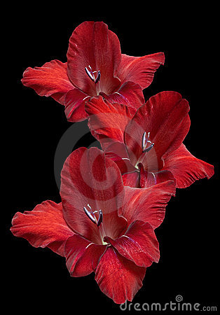 Red Gladiolus on Black