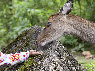 Hand of a child by giving food to a deer
