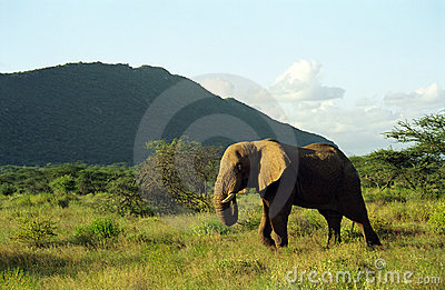 African elephants, Samburu Game Reserve, Kenya