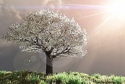 Cherry Tree with God rays