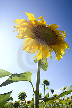 Sunflowers under the sunlight