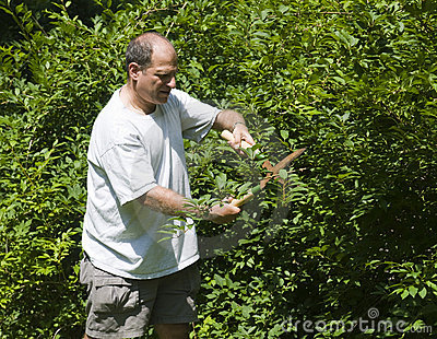 Man trimming bush with shears at suburban house