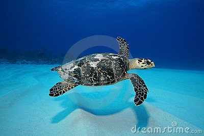 Turtle swimming over sand