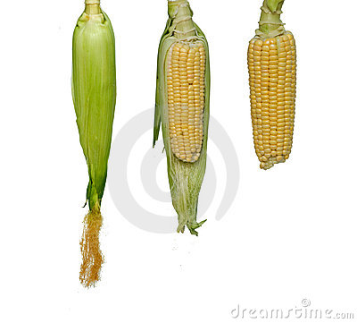 Three corn-cobs