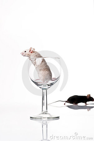 White and black mouse
