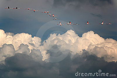 Pink flamingos in blue sky above white clouds