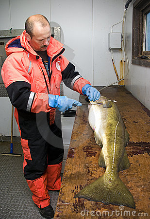 Fisherman filleting big cod