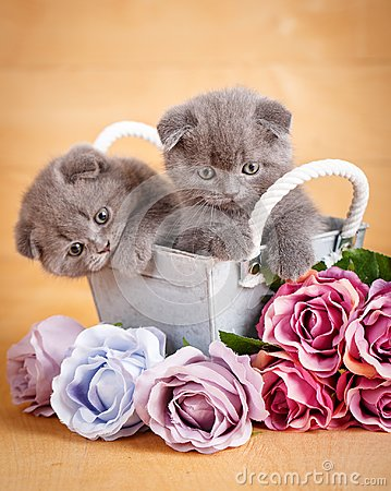 Couple Scottish Fold Cats in decorative wooden box near bouquet of flowers. Picture for a calendar with cats