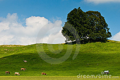 Landscape of grassland with trees, cows and hill