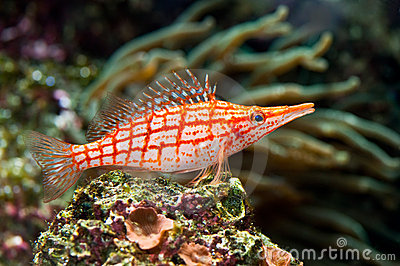 A red stripped fish