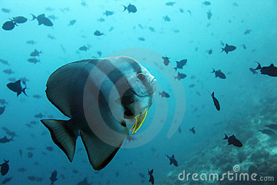 Bat fish - Maldives