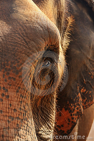 Elephant portrait, close up