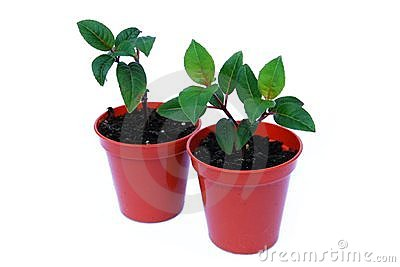 Two small plant seedlings in pots isolated