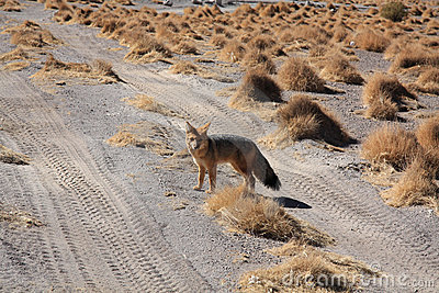 Fox in Bolivia