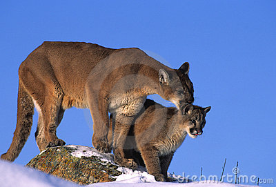 Mountain Lions on Rock