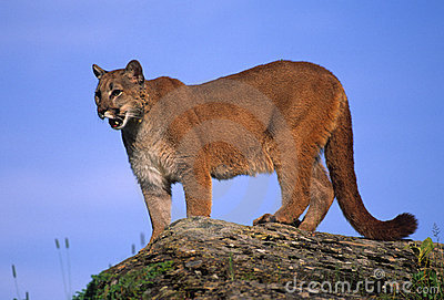 Mountain Lion on Rock