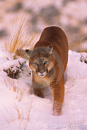 Mountain Lion in Winter