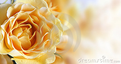 Background with a yellow rose