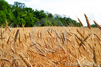 Wheat field and trees on background