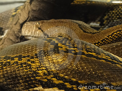 Detail, scales of an anaconda