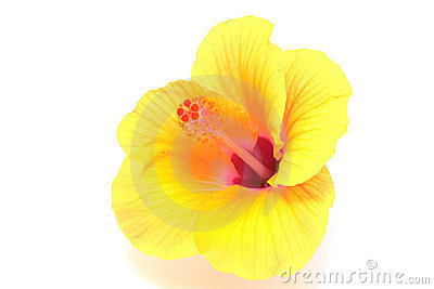 Yellow hibiscus flower isolated