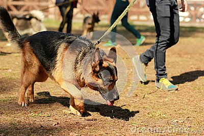 Training for a K9 german shepherd detective dog. Scent training and searching for a track