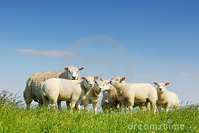 Family gathering of sheep
