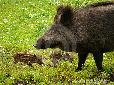 Three wild pigs