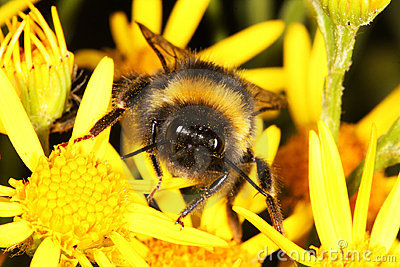 Face of a Bumble Bee.