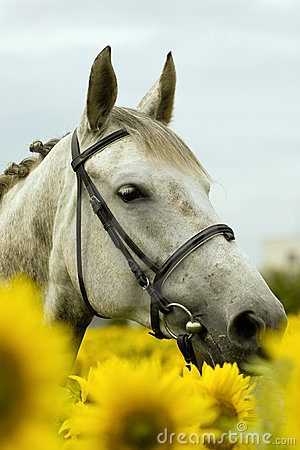 White horse in sunflower field