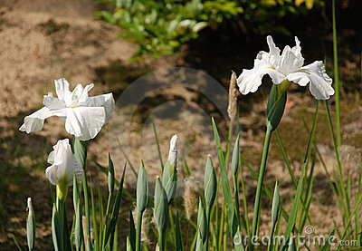 White Irises at Koko-En Gardens
