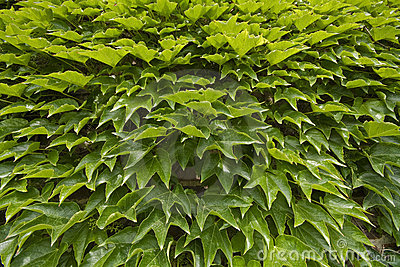 Green grape leaves texture