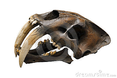 Skull of sabre-tooth cat