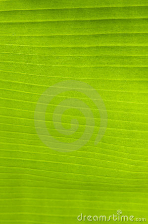 Banana palm tree green leaf