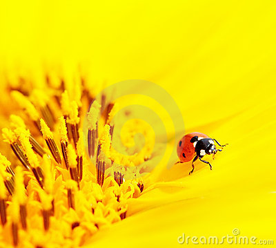 Ladybug sitting on a sunflower